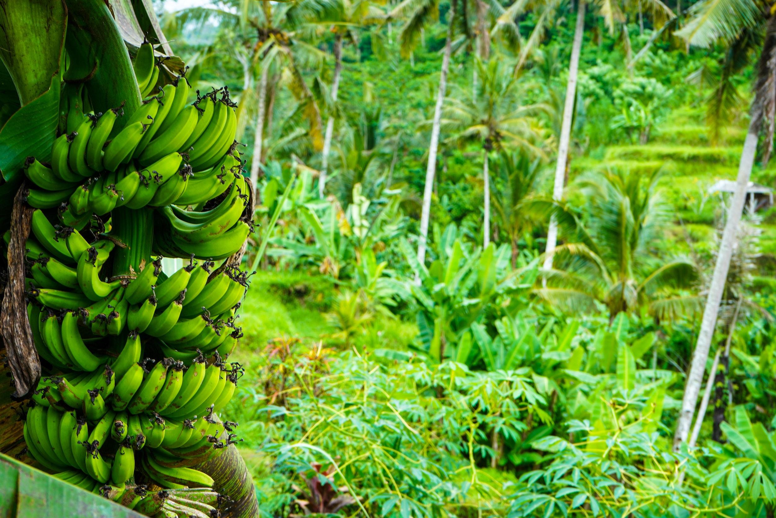 Costa Rican Banana Plantation