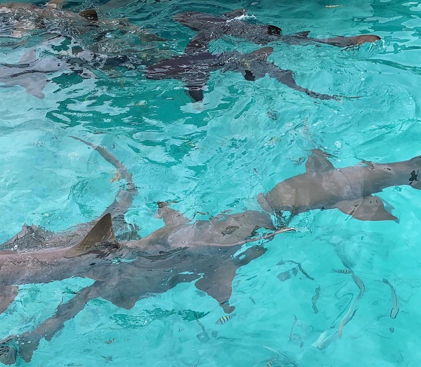 Sharks Exumas