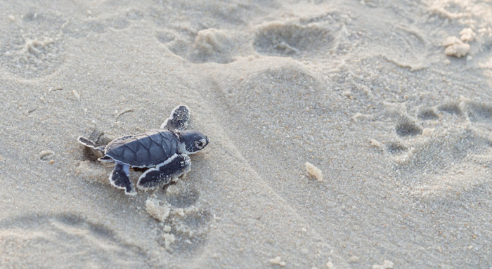 Spot turtles hatching in the Seychelles