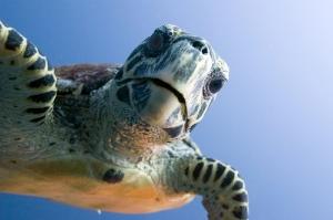 A sea turtle in the Maldives