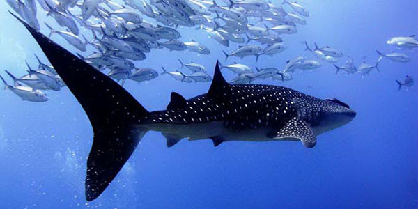 Photo credit from Similan Dive Center Thailand
